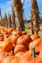 Pumpkin Patch With Corn Stalks Royalty Free Stock Photo