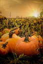 The Pumpkin Patch Royalty Free Stock Photo