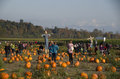 Pumpkin patch farm Royalty Free Stock Photo