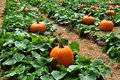 Pumpkin Patch Field with lush green leaves Royalty Free Stock Photo
