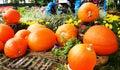 Pumpkin patch in garden orange Stock Photography
