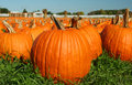 Pumpkin patch low angle Royalty Free Stock Photography