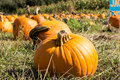 Pumpkin patch with low angled view of pumpkins Royalty Free Stock Photography