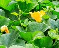 Pumpkin plants with flower on a field Royalty Free Stock Photo