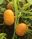 Pumpkin plants with rich harvest on a field ready to be harvested. Big orange pumpkins growing in the garden. Autumn