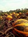 Pumpkin3 Royalty Free Stock Photo