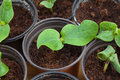 Pumpkin seedling in pot seedlings pots of compost Royalty Free Stock Image