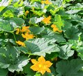 Pumpkin, Squash plant. Squash, courgette, pumpkin, vegetable marrow yellow flower with green leaves blossoming. Vegetable as a