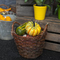 Pumpkin and squash in a wicker basket Royalty Free Stock Photo