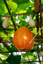 Pumpkin on the vine Royalty Free Stock Photo