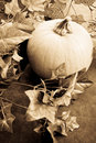 Pumpkin Vine Royalty Free Stock Images
