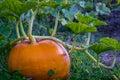 Pumpkin on vine Royalty Free Stock Photo