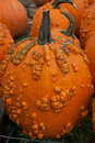 Pumpkin with warts Stock Photography