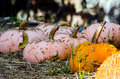 Pumpkin and warts orange pumpkins come in all shapes colors some are smooth while others have interesting Royalty Free Stock Photos