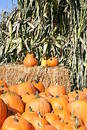 Pumpkins & corn stalks Royalty Free Stock Photo