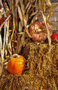 Pumpkins with corn stalks and hay bales at harvest time Royalty Free Stock Photo