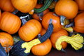 Pumpkins and crookneck squash set the mood for fall feasting Royalty Free Stock Images