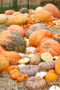 Pumpkins with different colours in the field Stock Image