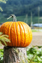 Pumpkins of different sizes placed next to each other it s a vertical picture Royalty Free Stock Images