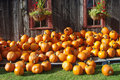 Pumpkins on the farm a pile of in front of a barn Stock Photo