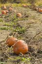 Pumpkins field Royalty Free Stock Photo