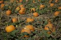 Pumpkins in the field growing Royalty Free Stock Photo