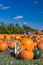 Pumpkins during harvest Royalty Free Stock Photo