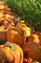 Pumpkins next to a corn field Royalty Free Stock Photo