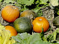 Pumpkins ready to pick you em pumpkin patch green ones and ripe ones vines and leaves pumpkin patch Royalty Free Stock Photography