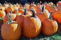 Pumpkins rows of on a farm Royalty Free Stock Image