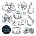 Pumpkins sketch vector illustration. Autumn gourd harvest. Hand drawn agriculture, farm isolated design elements