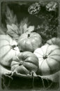 Pumpkins still life vintage tintype photo black and white Stock Photo