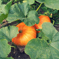 Pumpkins two growing in the garden Stock Photography