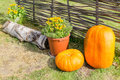 Pumpkins at wicker fence