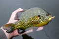 Pumpkinseed fish caught on lure a fat is held near the water after being a jig Royalty Free Stock Photography