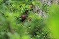 Puna ibis sitting on the tree Stock Photography