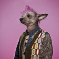 Punk chinese crested dog wearing a shirt pink background Royalty Free Stock Photos
