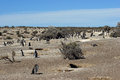 Punta tombo argentina colony of magellanic penguins south america Royalty Free Stock Photo