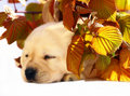 Pup in autumn leaves. Stock Photo