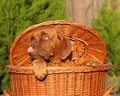 Pup in a basket. Royalty Free Stock Photos