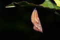 Pupa of the butterfly Royalty Free Stock Photo