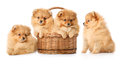 Puppies in a basket four spitz isolated over white Royalty Free Stock Image