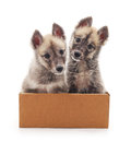 Puppies in the box. Royalty Free Stock Photo