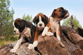 Puppies boxer Royalty Free Stock Image