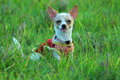 Puppies, dogs, Chihuahua Royalty Free Stock Photo