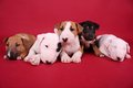 Puppies English Bull Terrier Stock Image