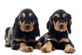 Puppies english cocker Royalty Free Stock Photo