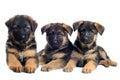 Puppies german shepherds Royalty Free Stock Photo