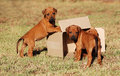 Puppies playing with box Stock Images