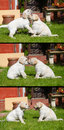 Puppies playing together in the garden collage three full size images Royalty Free Stock Photography